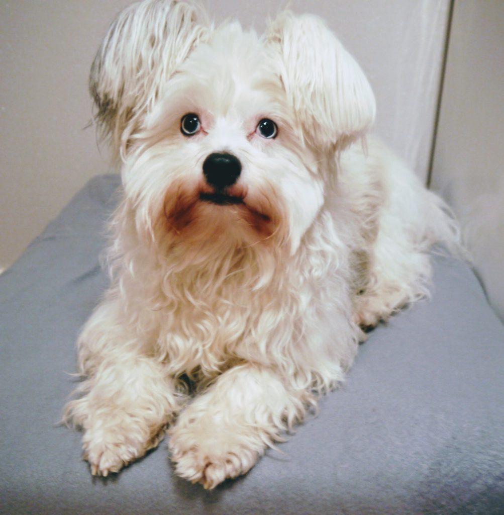 Hundeblog Powder Puff Krusty